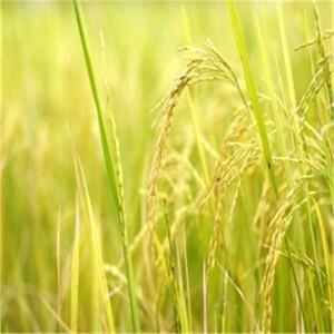100% Organic  Rice Protein